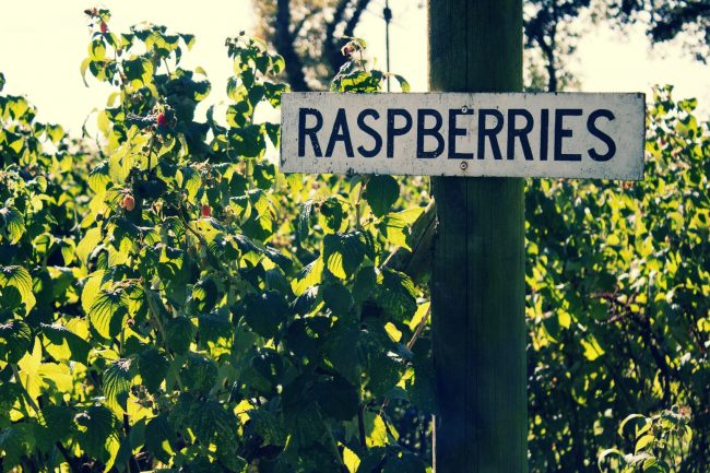 Raspberry Picking in the North West
